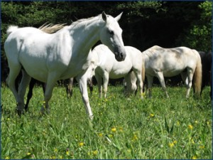 lipizzan_breeding